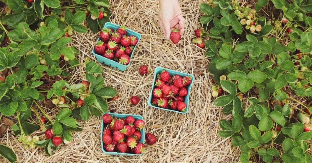 Botte de paille / Culture de fraises